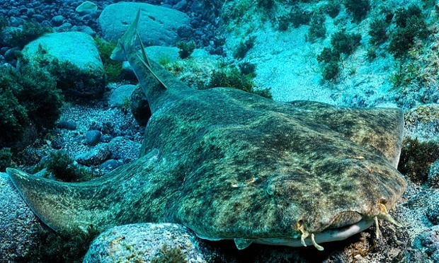 40% of Europe's sharks and rays face extinction, says IUCN | Environment | The Guardian