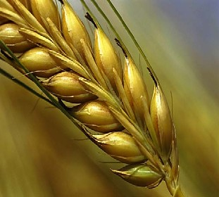 Image result for a corn of wheat